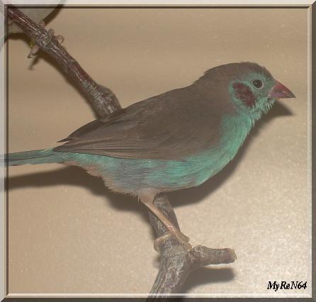 cordon bleu mâle 1