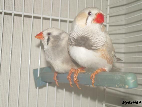 mâle brun masqué et femelle panachée