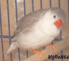 femelle pingouin ( ou façe blanche)