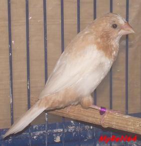 brun roux ailes claires mâle